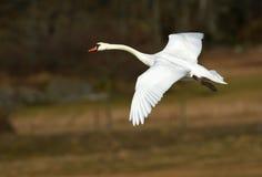 Πετώντας κύκνος στη φύση, Σουηδία Στοκ Φωτογραφία