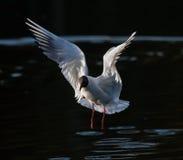πετώντας λίμνη γλάρων Στοκ φωτογραφίες με δικαίωμα ελεύθερης χρήσης