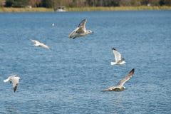 πετώντας λίμνη πέρα από seagulls Στοκ Φωτογραφία