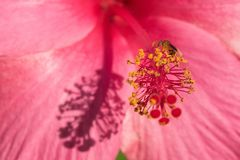 Πετώντας μέλισσα ρόδινα hibiscus Στοκ εικόνα με δικαίωμα ελεύθερης χρήσης