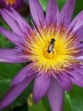 Πετώντας μέλισσα σε έναν λωτό Στοκ Εικόνες
