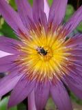 Πετώντας μέλισσα σε έναν λωτό Στοκ φωτογραφίες με δικαίωμα ελεύθερης χρήσης