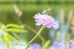 Πετώντας μέλισσα και ένα λουλούδι με τα μυρμήγκια και την ψείρα αμπέλων Στοκ εικόνα με δικαίωμα ελεύθερης χρήσης