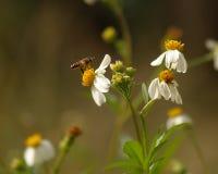 Πετώντας μέλισσα και ισπανικά λουλούδια βελόνων Στοκ Φωτογραφία