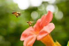 Πετώντας μέλισσα μελιού που συλλέγει τη γύρη από το πορτοκαλί λουλούδι Campsis radicans Στοκ φωτογραφίες με δικαίωμα ελεύθερης χρήσης