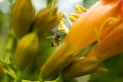 Πετώντας μέλισσα μελιού που συλλέγει τη γύρη από το πορτοκαλί λουλούδι Campsis radicans Στοκ εικόνες με δικαίωμα ελεύθερης χρήσης