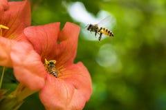 Πετώντας μέλισσα μελιού που συλλέγει τη γύρη από το πορτοκαλί λουλούδι Campsis radicans Στοκ Εικόνες