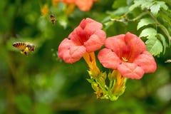 Πετώντας μέλισσα μελιού που συλλέγει τη γύρη από το πορτοκαλί λουλούδι Campsis radicans Στοκ εικόνα με δικαίωμα ελεύθερης χρήσης