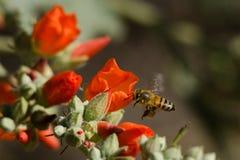 Πετώντας μέλισσα μελιού Στοκ Εικόνες