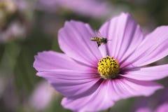 Πετώντας μέλισσα στην κορυφή του ρόδινου λουλουδιού Στοκ Εικόνες