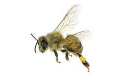 Πετώντας μέλισσα Στοκ εικόνες με δικαίωμα ελεύθερης χρήσης
