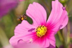 Πετώντας μέλισσα Στοκ Εικόνες