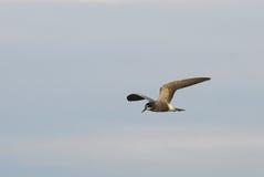 Πετώντας μαυρογλάρονο Στοκ φωτογραφία με δικαίωμα ελεύθερης χρήσης