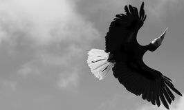 Πετώντας μαύρο πουλί Στοκ Εικόνες