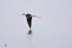 Πετώντας μαύρο φτερωτό ξυλοπόδαρο Στοκ Εικόνες
