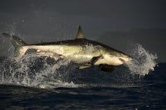 Πετώντας μεγάλος άσπρος καρχαρίας Στοκ εικόνα με δικαίωμα ελεύθερης χρήσης