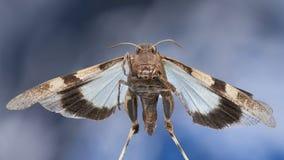 Πετώντας μπλε φτερωτό grasshopper στοκ φωτογραφίες