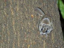 πετώντας νότιος σκίουρος Στοκ Φωτογραφίες