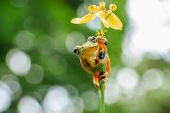 Πετώντας ομπρέλα λουλουδιών βατράχων Wallace ` s Στοκ εικόνες με δικαίωμα ελεύθερης χρήσης