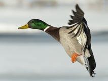 Πετώντας πάπια πρασινολαιμών Στοκ εικόνα με δικαίωμα ελεύθερης χρήσης