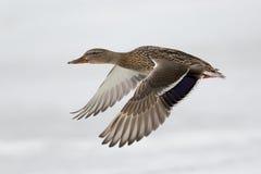Πετώντας πάπια Στοκ εικόνα με δικαίωμα ελεύθερης χρήσης