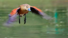Πετώντας πάπιες στον τοπικό κήπο στοκ φωτογραφίες με δικαίωμα ελεύθερης χρήσης
