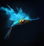 Πετώντας παπαγάλος Ara Στοκ φωτογραφίες με δικαίωμα ελεύθερης χρήσης