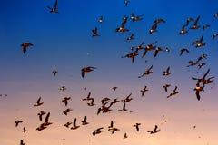 Πετώντας παχύς-τιμολογημένο murres μεγάλο κοπάδι Στοκ Φωτογραφίες