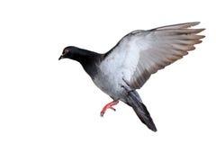 Πετώντας περιστέρι που απομονώνεται στο λευκό στοκ φωτογραφία με δικαίωμα ελεύθερης χρήσης
