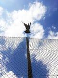 Πετώντας περιστέρι Στοκ Φωτογραφίες