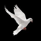 πετώντας περιστέρι Στοκ Εικόνες