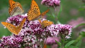 Πετώντας πεταλούδες, πεταλούδα στο λουλούδι στη φύση, άποψη κήπων με τα έντομα απόθεμα βίντεο