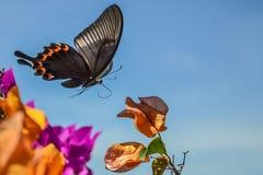 Πετώντας πεταλούδα Στοκ Εικόνες
