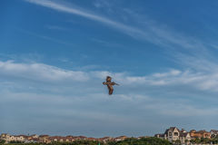 Πετώντας πελεκάνος στη Φλώριδα Πέρα από το λιμένα Στοκ Φωτογραφία