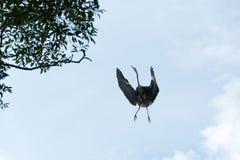 Πετώντας πουλιά πελαργών ψάχνοντας τα τρόφιμα Στοκ Εικόνες