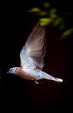 Πετώντας πουλί Στοκ Εικόνες