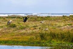 Πετώντας πουλιά, νησί Chiloe, Χιλή στοκ εικόνες