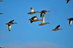πετώντας πρασινολαίμες Στοκ Εικόνες