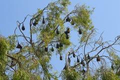Πετώντας ρόπαλα αλεπούδων που στο δέντρο κοντά σε Sangli Στοκ Εικόνες