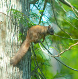 πετώντας σκίουρος Στοκ φωτογραφία με δικαίωμα ελεύθερης χρήσης