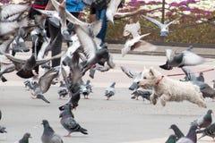 Πετώντας σκυλί και περιστέρια Στοκ Εικόνες