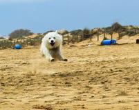 Πετώντας σκυλί στην παραλία Στοκ φωτογραφία με δικαίωμα ελεύθερης χρήσης