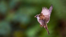 Πετώντας σπουργίτι σπιτιών Στοκ Φωτογραφίες