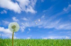 πετώντας σπόροι πικραλίδων Στοκ φωτογραφίες με δικαίωμα ελεύθερης χρήσης