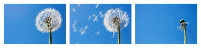 πετώντας σπόροι πικραλίδω& Στοκ εικόνες με δικαίωμα ελεύθερης χρήσης