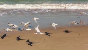 Πετώντας στέρνες στην παραλία Φλώριδα της Μελβούρνης Στοκ Εικόνες