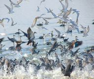 Πετώντας στέρνες Whiskered στη λίμνη Randarda, Rajkot Στοκ εικόνα με δικαίωμα ελεύθερης χρήσης