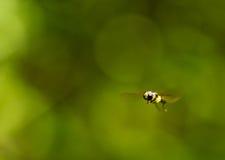 πετώντας σφήκα στοκ φωτογραφίες με δικαίωμα ελεύθερης χρήσης