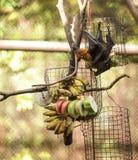 Πετώντας τροφές ροπάλων φρούτων αλεπούδων Lyle με τα φρούτα στο ζωολογικό κήπο Είναι κοινωνικό και φωλιές στο τροπικό δάσος, και  στοκ εικόνες με δικαίωμα ελεύθερης χρήσης