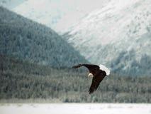 Πετώντας φαλακρός αετός. Στοκ Εικόνες